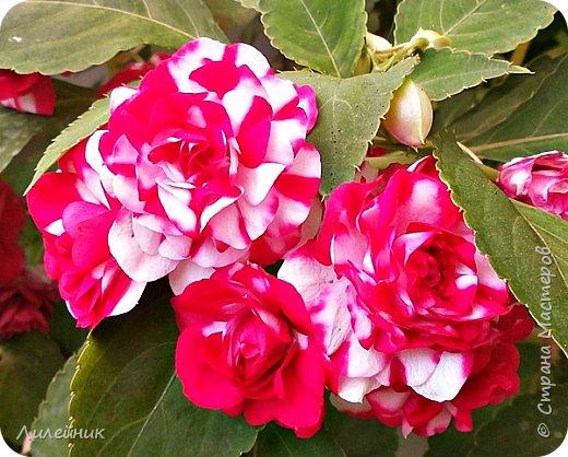 Здравствуйте,все любители цветов! С приходом весны, я как и большинство любителей цветов погружаемся в цветочно-посевные хлопоты; сеем семена,черенкуем вазоны. Всходы растений вырастают, черенки хорошо укоренились в стаканчиках и начинаешь ломать голову-как, куда, и с кем все это посадить. С тары идет вход все- ведра, тазики, дырявые старые миски, ящики и тд, и тп.Наступает июнь, июль, смотришь какая композиция получилась, а какая нет. Смотрим. В ящику посажены две пеларгонии и бальзамин из коллекции Сафари(сеянец прошлого года). фото 24