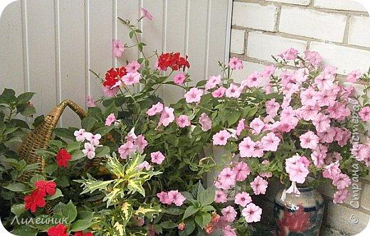 Здравствуйте,все любители цветов! С приходом весны, я как и большинство любителей цветов погружаемся в цветочно-посевные хлопоты; сеем семена,черенкуем вазоны. Всходы растений вырастают, черенки хорошо укоренились в стаканчиках и начинаешь ломать голову-как, куда, и с кем все это посадить. С тары идет вход все- ведра, тазики, дырявые старые миски, ящики и тд, и тп.Наступает июнь, июль, смотришь какая композиция получилась, а какая нет. Смотрим. В ящику посажены две пеларгонии и бальзамин из коллекции Сафари(сеянец прошлого года). фото 12
