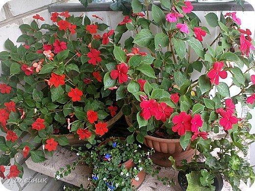 Здравствуйте,все любители цветов! С приходом весны, я как и большинство любителей цветов погружаемся в цветочно-посевные хлопоты; сеем семена,черенкуем вазоны. Всходы растений вырастают, черенки хорошо укоренились в стаканчиках и начинаешь ломать голову-как, куда, и с кем все это посадить. С тары идет вход все- ведра, тазики, дырявые старые миски, ящики и тд, и тп.Наступает июнь, июль, смотришь какая композиция получилась, а какая нет. Смотрим. В ящику посажены две пеларгонии и бальзамин из коллекции Сафари(сеянец прошлого года). фото 13