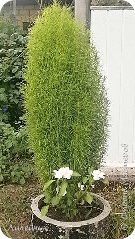 Здравствуйте,все любители цветов! С приходом весны, я как и большинство любителей цветов погружаемся в цветочно-посевные хлопоты; сеем семена,черенкуем вазоны. Всходы растений вырастают, черенки хорошо укоренились в стаканчиках и начинаешь ломать голову-как, куда, и с кем все это посадить. С тары идет вход все- ведра, тазики, дырявые старые миски, ящики и тд, и тп.Наступает июнь, июль, смотришь какая композиция получилась, а какая нет. Смотрим. В ящику посажены две пеларгонии и бальзамин из коллекции Сафари(сеянец прошлого года). фото 10