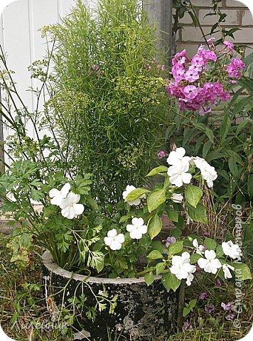 Здравствуйте,все любители цветов! С приходом весны, я как и большинство любителей цветов погружаемся в цветочно-посевные хлопоты; сеем семена,черенкуем вазоны. Всходы растений вырастают, черенки хорошо укоренились в стаканчиках и начинаешь ломать голову-как, куда, и с кем все это посадить. С тары идет вход все- ведра, тазики, дырявые старые миски, ящики и тд, и тп.Наступает июнь, июль, смотришь какая композиция получилась, а какая нет. Смотрим. В ящику посажены две пеларгонии и бальзамин из коллекции Сафари(сеянец прошлого года). фото 11