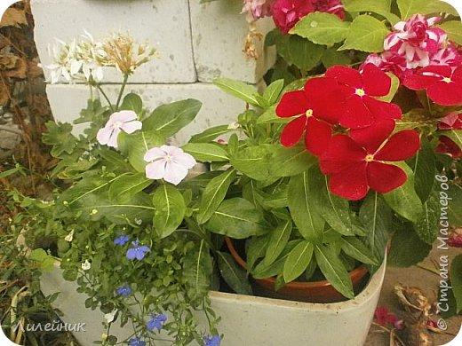 Здравствуйте,все любители цветов! С приходом весны, я как и большинство любителей цветов погружаемся в цветочно-посевные хлопоты; сеем семена,черенкуем вазоны. Всходы растений вырастают, черенки хорошо укоренились в стаканчиках и начинаешь ломать голову-как, куда, и с кем все это посадить. С тары идет вход все- ведра, тазики, дырявые старые миски, ящики и тд, и тп.Наступает июнь, июль, смотришь какая композиция получилась, а какая нет. Смотрим. В ящику посажены две пеларгонии и бальзамин из коллекции Сафари(сеянец прошлого года). фото 9