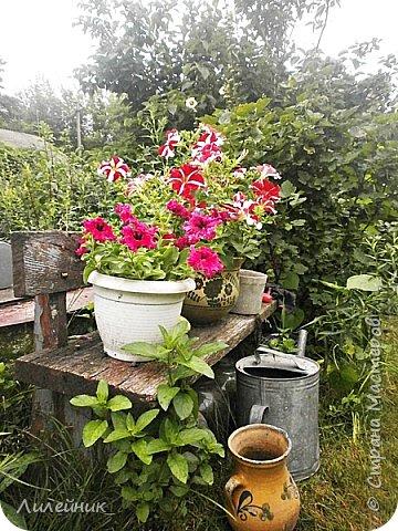 Здравствуйте,все любители цветов! С приходом весны, я как и большинство любителей цветов погружаемся в цветочно-посевные хлопоты; сеем семена,черенкуем вазоны. Всходы растений вырастают, черенки хорошо укоренились в стаканчиках и начинаешь ломать голову-как, куда, и с кем все это посадить. С тары идет вход все- ведра, тазики, дырявые старые миски, ящики и тд, и тп.Наступает июнь, июль, смотришь какая композиция получилась, а какая нет. Смотрим. В ящику посажены две пеларгонии и бальзамин из коллекции Сафари(сеянец прошлого года). фото 14