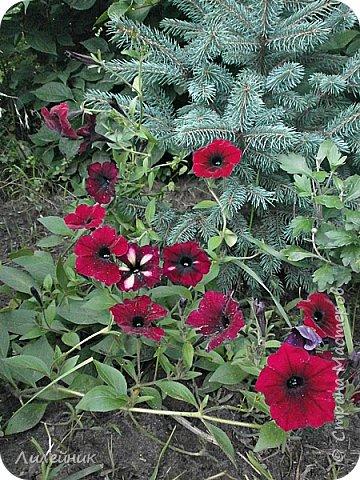 Здравствуйте,все любители цветов! С приходом весны, я как и большинство любителей цветов погружаемся в цветочно-посевные хлопоты; сеем семена,черенкуем вазоны. Всходы растений вырастают, черенки хорошо укоренились в стаканчиках и начинаешь ломать голову-как, куда, и с кем все это посадить. С тары идет вход все- ведра, тазики, дырявые старые миски, ящики и тд, и тп.Наступает июнь, июль, смотришь какая композиция получилась, а какая нет. Смотрим. В ящику посажены две пеларгонии и бальзамин из коллекции Сафари(сеянец прошлого года). фото 17