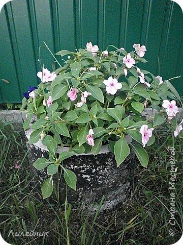 Здравствуйте,все любители цветов! С приходом весны, я как и большинство любителей цветов погружаемся в цветочно-посевные хлопоты; сеем семена,черенкуем вазоны. Всходы растений вырастают, черенки хорошо укоренились в стаканчиках и начинаешь ломать голову-как, куда, и с кем все это посадить. С тары идет вход все- ведра, тазики, дырявые старые миски, ящики и тд, и тп.Наступает июнь, июль, смотришь какая композиция получилась, а какая нет. Смотрим. В ящику посажены две пеларгонии и бальзамин из коллекции Сафари(сеянец прошлого года). фото 18