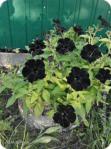 Здравствуйте,все любители цветов! С приходом весны, я как и большинство любителей цветов погружаемся в цветочно-посевные хлопоты; сеем семена,черенкуем вазоны. Всходы растений вырастают, черенки хорошо укоренились в стаканчиках и начинаешь ломать голову-как, куда, и с кем все это посадить. С тары идет вход все- ведра, тазики, дырявые старые миски, ящики и тд, и тп.Наступает июнь, июль, смотришь какая композиция получилась, а какая нет. Смотрим. В ящику посажены две пеларгонии и бальзамин из коллекции Сафари(сеянец прошлого года). фото 19