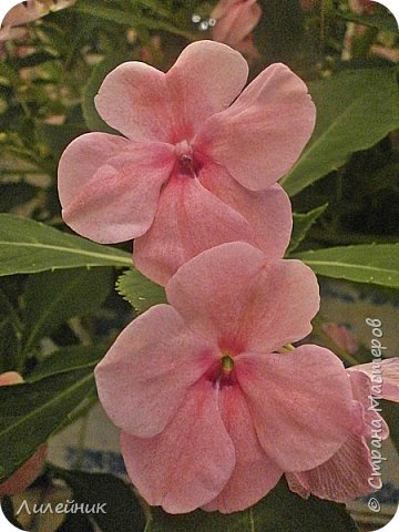 Здравствуйте,все любители цветов! С приходом весны, я как и большинство любителей цветов погружаемся в цветочно-посевные хлопоты; сеем семена,черенкуем вазоны. Всходы растений вырастают, черенки хорошо укоренились в стаканчиках и начинаешь ломать голову-как, куда, и с кем все это посадить. С тары идет вход все- ведра, тазики, дырявые старые миски, ящики и тд, и тп.Наступает июнь, июль, смотришь какая композиция получилась, а какая нет. Смотрим. В ящику посажены две пеларгонии и бальзамин из коллекции Сафари(сеянец прошлого года). фото 4