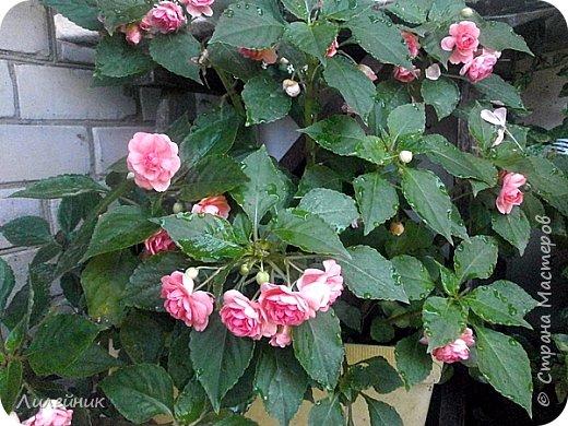 Здравствуйте,все любители цветов! С приходом весны, я как и большинство любителей цветов погружаемся в цветочно-посевные хлопоты; сеем семена,черенкуем вазоны. Всходы растений вырастают, черенки хорошо укоренились в стаканчиках и начинаешь ломать голову-как, куда, и с кем все это посадить. С тары идет вход все- ведра, тазики, дырявые старые миски, ящики и тд, и тп.Наступает июнь, июль, смотришь какая композиция получилась, а какая нет. Смотрим. В ящику посажены две пеларгонии и бальзамин из коллекции Сафари(сеянец прошлого года). фото 20