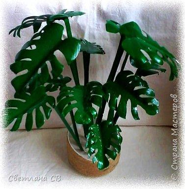 Монстера (Monstera) — крупное тропическое растение, лиана; род семейства Ароидные. Гигантские размеры растения и его причудливый облик послужили основанием для названия всего рода (от monstrum — чудовище, а, может быть, и «причудливая»). Монстеры — вечнозеленые растения, лианы, кустарники с лазящими толстыми стеблями, часто свисающими воздушными корнями. Листья крупные, кожистые.  фото 2