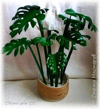 Монстера (Monstera) — крупное тропическое растение, лиана; род семейства Ароидные. Гигантские размеры растения и его причудливый облик послужили основанием для названия всего рода (от monstrum — чудовище, а, может быть, и «причудливая»). Монстеры — вечнозеленые растения, лианы, кустарники с лазящими толстыми стеблями, часто свисающими воздушными корнями. Листья крупные, кожистые.  фото 4