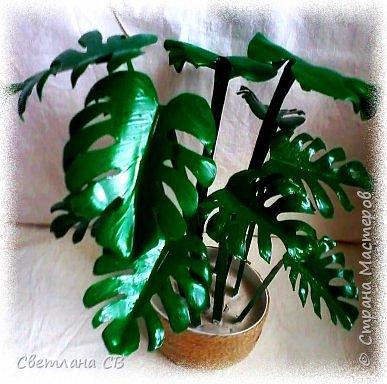 Монстера (Monstera) — крупное тропическое растение, лиана; род семейства Ароидные. Гигантские размеры растения и его причудливый облик послужили основанием для названия всего рода (от monstrum — чудовище, а, может быть, и «причудливая»). Монстеры — вечнозеленые растения, лианы, кустарники с лазящими толстыми стеблями, часто свисающими воздушными корнями. Листья крупные, кожистые.  фото 3