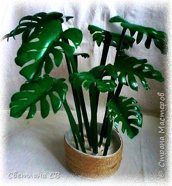 Монстера (Monstera) — крупное тропическое растение, лиана; род семейства Ароидные. Гигантские размеры растения и его причудливый облик послужили основанием для названия всего рода (от monstrum — чудовище, а, может быть, и «причудливая»). Монстеры — вечнозеленые растения, лианы, кустарники с лазящими толстыми стеблями, часто свисающими воздушными корнями. Листья крупные, кожистые.  фото 1