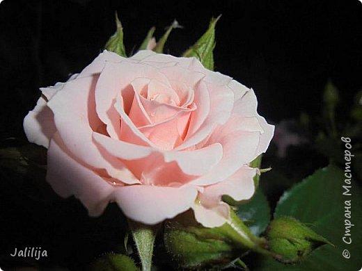 Желаю здравствовать и процветать в своих делах всем моим гостям  и предлагаю несколько минут отдыха среди моих роз, которые сейчас цветут. В том году всё идёт с опозданием. Этот пост не научная статья, просто несколько красивых картинок из моего сада. фото 10