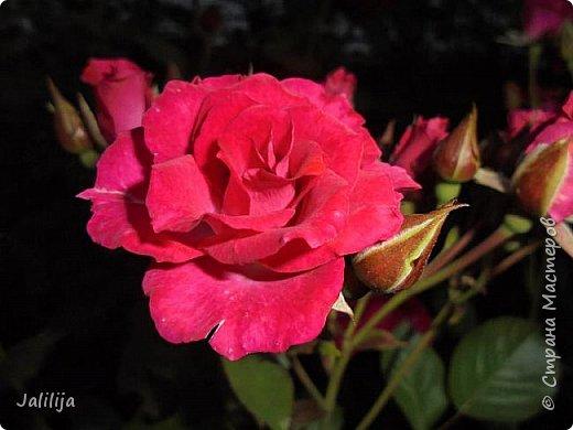 Желаю здравствовать и процветать в своих делах всем моим гостям  и предлагаю несколько минут отдыха среди моих роз, которые сейчас цветут. В том году всё идёт с опозданием. Этот пост не научная статья, просто несколько красивых картинок из моего сада. фото 11