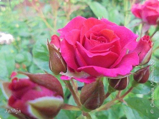Желаю здравствовать и процветать в своих делах всем моим гостям  и предлагаю несколько минут отдыха среди моих роз, которые сейчас цветут. В том году всё идёт с опозданием. Этот пост не научная статья, просто несколько красивых картинок из моего сада. фото 12