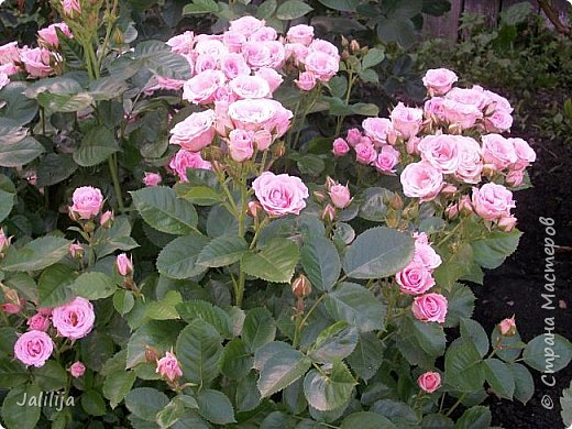 Желаю здравствовать и процветать в своих делах всем моим гостям  и предлагаю несколько минут отдыха среди моих роз, которые сейчас цветут. В том году всё идёт с опозданием. Этот пост не научная статья, просто несколько красивых картинок из моего сада. фото 13