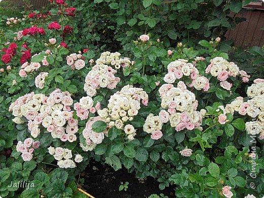 Желаю здравствовать и процветать в своих делах всем моим гостям  и предлагаю несколько минут отдыха среди моих роз, которые сейчас цветут. В том году всё идёт с опозданием. Этот пост не научная статья, просто несколько красивых картинок из моего сада. фото 16