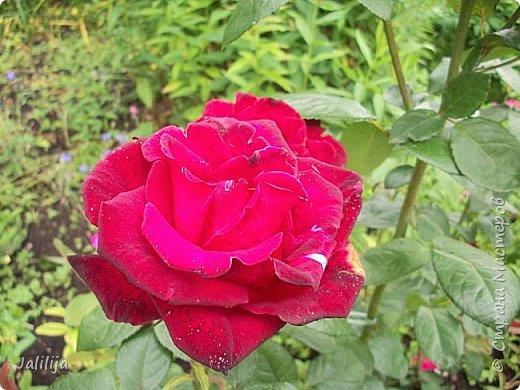 Желаю здравствовать и процветать в своих делах всем моим гостям  и предлагаю несколько минут отдыха среди моих роз, которые сейчас цветут. В том году всё идёт с опозданием. Этот пост не научная статья, просто несколько красивых картинок из моего сада. фото 17
