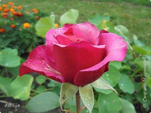 Желаю здравствовать и процветать в своих делах всем моим гостям  и предлагаю несколько минут отдыха среди моих роз, которые сейчас цветут. В том году всё идёт с опозданием. Этот пост не научная статья, просто несколько красивых картинок из моего сада. фото 19