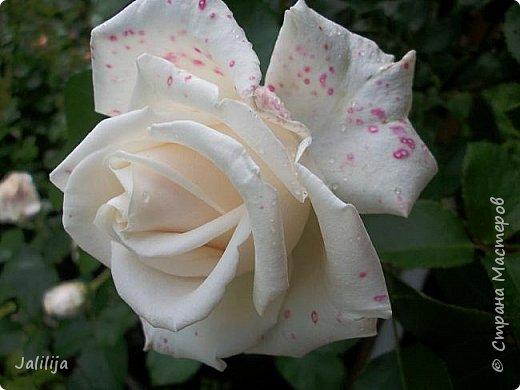 Желаю здравствовать и процветать в своих делах всем моим гостям  и предлагаю несколько минут отдыха среди моих роз, которые сейчас цветут. В том году всё идёт с опозданием. Этот пост не научная статья, просто несколько красивых картинок из моего сада. фото 20