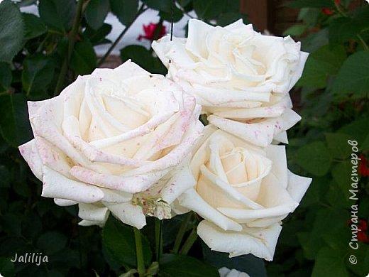 Желаю здравствовать и процветать в своих делах всем моим гостям  и предлагаю несколько минут отдыха среди моих роз, которые сейчас цветут. В том году всё идёт с опозданием. Этот пост не научная статья, просто несколько красивых картинок из моего сада. фото 21