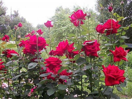 Желаю здравствовать и процветать в своих делах всем моим гостям  и предлагаю несколько минут отдыха среди моих роз, которые сейчас цветут. В том году всё идёт с опозданием. Этот пост не научная статья, просто несколько красивых картинок из моего сада. фото 2