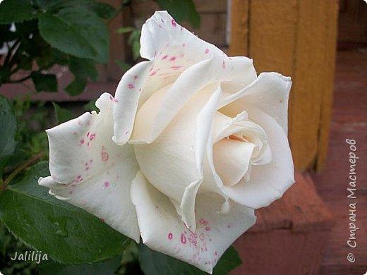 Желаю здравствовать и процветать в своих делах всем моим гостям  и предлагаю несколько минут отдыха среди моих роз, которые сейчас цветут. В том году всё идёт с опозданием. Этот пост не научная статья, просто несколько красивых картинок из моего сада. фото 22