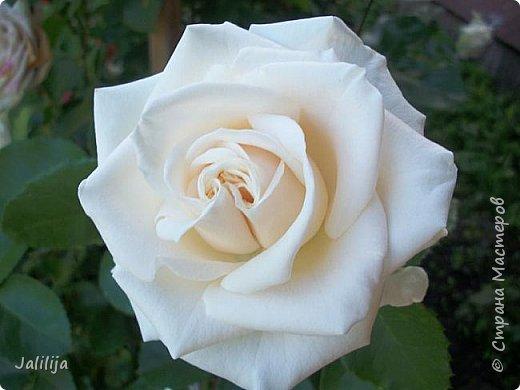 Желаю здравствовать и процветать в своих делах всем моим гостям  и предлагаю несколько минут отдыха среди моих роз, которые сейчас цветут. В том году всё идёт с опозданием. Этот пост не научная статья, просто несколько красивых картинок из моего сада. фото 23