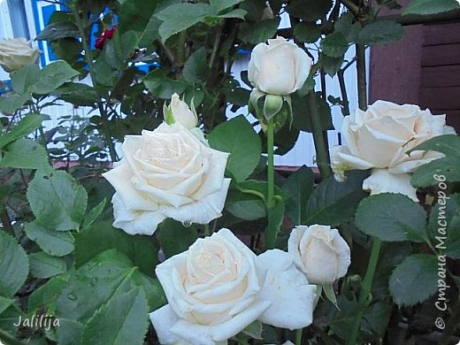 Желаю здравствовать и процветать в своих делах всем моим гостям  и предлагаю несколько минут отдыха среди моих роз, которые сейчас цветут. В том году всё идёт с опозданием. Этот пост не научная статья, просто несколько красивых картинок из моего сада. фото 24