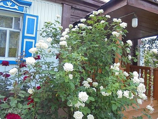 Желаю здравствовать и процветать в своих делах всем моим гостям  и предлагаю несколько минут отдыха среди моих роз, которые сейчас цветут. В том году всё идёт с опозданием. Этот пост не научная статья, просто несколько красивых картинок из моего сада. фото 25