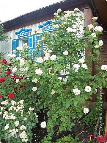 Желаю здравствовать и процветать в своих делах всем моим гостям  и предлагаю несколько минут отдыха среди моих роз, которые сейчас цветут. В том году всё идёт с опозданием. Этот пост не научная статья, просто несколько красивых картинок из моего сада. фото 26