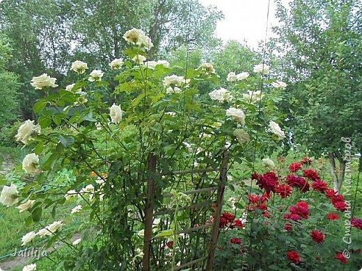 Желаю здравствовать и процветать в своих делах всем моим гостям  и предлагаю несколько минут отдыха среди моих роз, которые сейчас цветут. В том году всё идёт с опозданием. Этот пост не научная статья, просто несколько красивых картинок из моего сада. фото 27