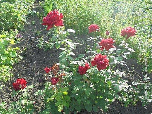 Желаю здравствовать и процветать в своих делах всем моим гостям  и предлагаю несколько минут отдыха среди моих роз, которые сейчас цветут. В том году всё идёт с опозданием. Этот пост не научная статья, просто несколько красивых картинок из моего сада. фото 29