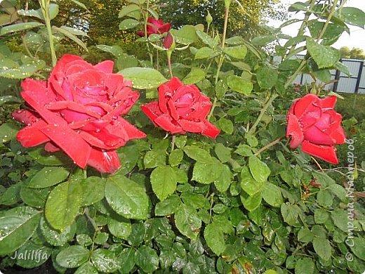 Желаю здравствовать и процветать в своих делах всем моим гостям  и предлагаю несколько минут отдыха среди моих роз, которые сейчас цветут. В том году всё идёт с опозданием. Этот пост не научная статья, просто несколько красивых картинок из моего сада. фото 30