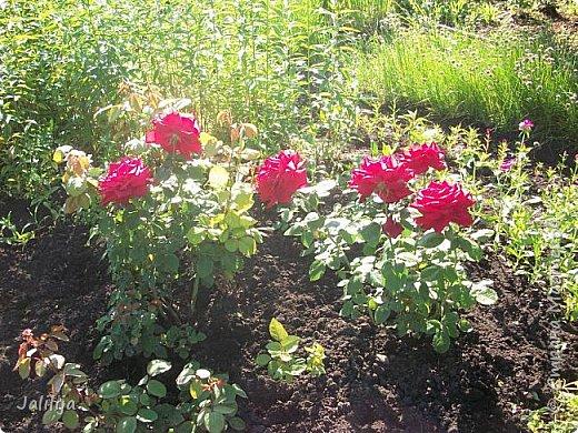Желаю здравствовать и процветать в своих делах всем моим гостям  и предлагаю несколько минут отдыха среди моих роз, которые сейчас цветут. В том году всё идёт с опозданием. Этот пост не научная статья, просто несколько красивых картинок из моего сада. фото 33