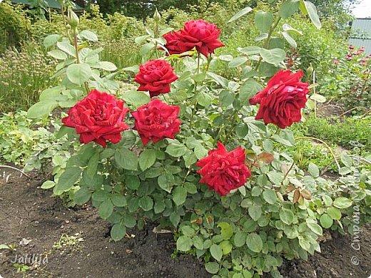 Желаю здравствовать и процветать в своих делах всем моим гостям  и предлагаю несколько минут отдыха среди моих роз, которые сейчас цветут. В том году всё идёт с опозданием. Этот пост не научная статья, просто несколько красивых картинок из моего сада. фото 34