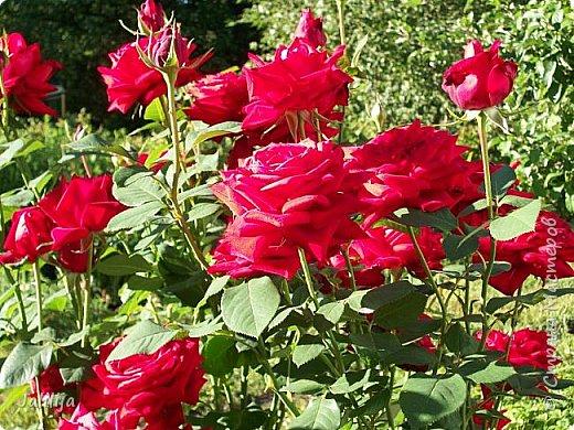 Желаю здравствовать и процветать в своих делах всем моим гостям  и предлагаю несколько минут отдыха среди моих роз, которые сейчас цветут. В том году всё идёт с опозданием. Этот пост не научная статья, просто несколько красивых картинок из моего сада. фото 35