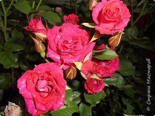 Желаю здравствовать и процветать в своих делах всем моим гостям  и предлагаю несколько минут отдыха среди моих роз, которые сейчас цветут. В том году всё идёт с опозданием. Этот пост не научная статья, просто несколько красивых картинок из моего сада. фото 36