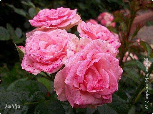 Желаю здравствовать и процветать в своих делах всем моим гостям  и предлагаю несколько минут отдыха среди моих роз, которые сейчас цветут. В том году всё идёт с опозданием. Этот пост не научная статья, просто несколько красивых картинок из моего сада. фото 37