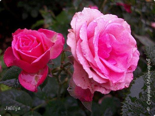 Желаю здравствовать и процветать в своих делах всем моим гостям  и предлагаю несколько минут отдыха среди моих роз, которые сейчас цветут. В том году всё идёт с опозданием. Этот пост не научная статья, просто несколько красивых картинок из моего сада. фото 38