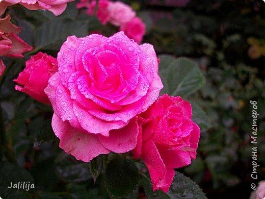 Желаю здравствовать и процветать в своих делах всем моим гостям  и предлагаю несколько минут отдыха среди моих роз, которые сейчас цветут. В том году всё идёт с опозданием. Этот пост не научная статья, просто несколько красивых картинок из моего сада. фото 39