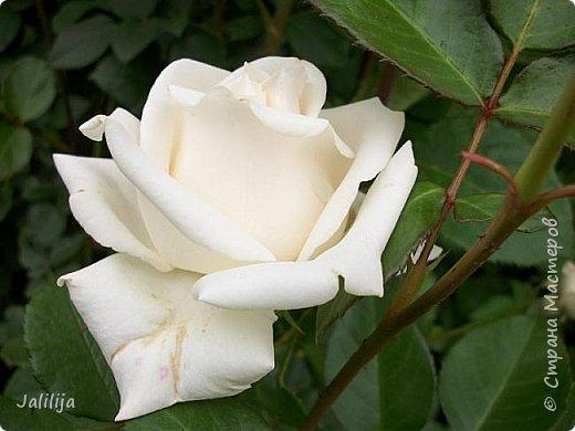 Желаю здравствовать и процветать в своих делах всем моим гостям  и предлагаю несколько минут отдыха среди моих роз, которые сейчас цветут. В том году всё идёт с опозданием. Этот пост не научная статья, просто несколько красивых картинок из моего сада. фото 40