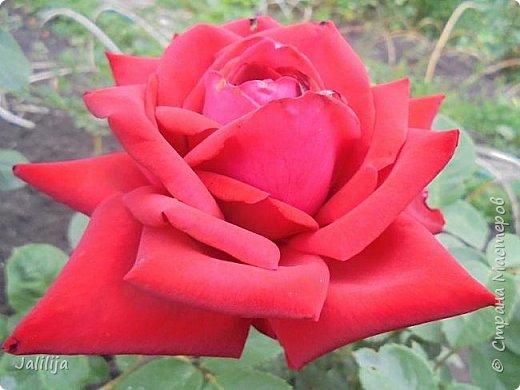 Желаю здравствовать и процветать в своих делах всем моим гостям  и предлагаю несколько минут отдыха среди моих роз, которые сейчас цветут. В том году всё идёт с опозданием. Этот пост не научная статья, просто несколько красивых картинок из моего сада. фото 4