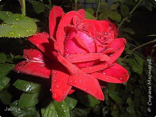 Желаю здравствовать и процветать в своих делах всем моим гостям  и предлагаю несколько минут отдыха среди моих роз, которые сейчас цветут. В том году всё идёт с опозданием. Этот пост не научная статья, просто несколько красивых картинок из моего сада. фото 45