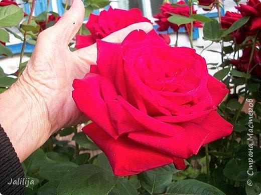 Желаю здравствовать и процветать в своих делах всем моим гостям  и предлагаю несколько минут отдыха среди моих роз, которые сейчас цветут. В том году всё идёт с опозданием. Этот пост не научная статья, просто несколько красивых картинок из моего сада. фото 5