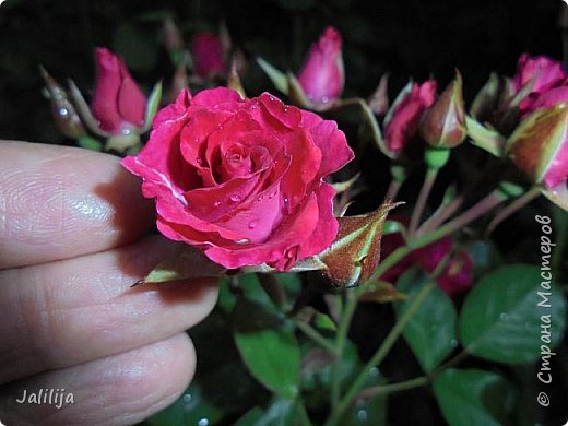 Желаю здравствовать и процветать в своих делах всем моим гостям  и предлагаю несколько минут отдыха среди моих роз, которые сейчас цветут. В том году всё идёт с опозданием. Этот пост не научная статья, просто несколько красивых картинок из моего сада. фото 6