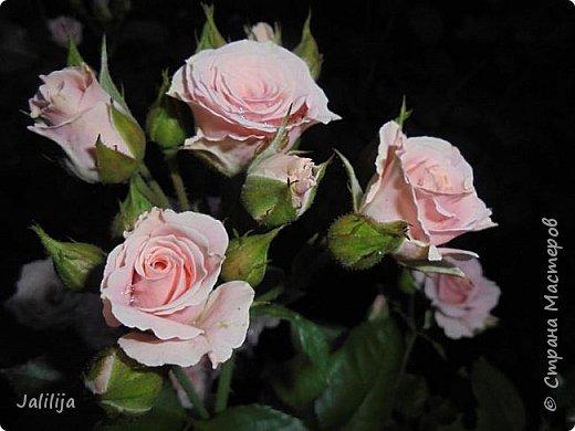 Желаю здравствовать и процветать в своих делах всем моим гостям  и предлагаю несколько минут отдыха среди моих роз, которые сейчас цветут. В том году всё идёт с опозданием. Этот пост не научная статья, просто несколько красивых картинок из моего сада. фото 8