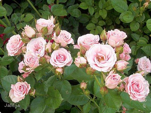 Желаю здравствовать и процветать в своих делах всем моим гостям  и предлагаю несколько минут отдыха среди моих роз, которые сейчас цветут. В том году всё идёт с опозданием. Этот пост не научная статья, просто несколько красивых картинок из моего сада. фото 9