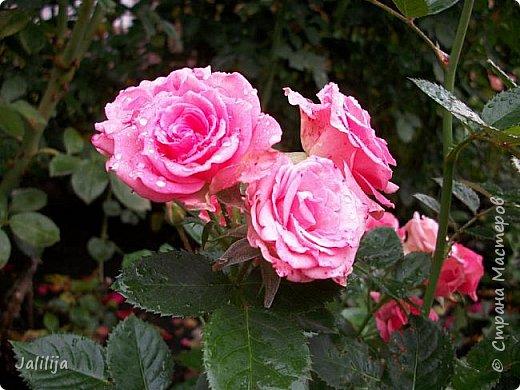 Желаю здравствовать и процветать в своих делах всем моим гостям  и предлагаю несколько минут отдыха среди моих роз, которые сейчас цветут. В том году всё идёт с опозданием. Этот пост не научная статья, просто несколько красивых картинок из моего сада. фото 41