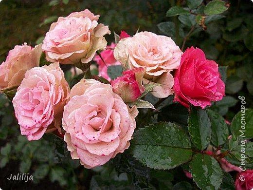 Желаю здравствовать и процветать в своих делах всем моим гостям  и предлагаю несколько минут отдыха среди моих роз, которые сейчас цветут. В том году всё идёт с опозданием. Этот пост не научная статья, просто несколько красивых картинок из моего сада. фото 42